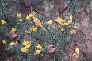 New Forest gorse flowers