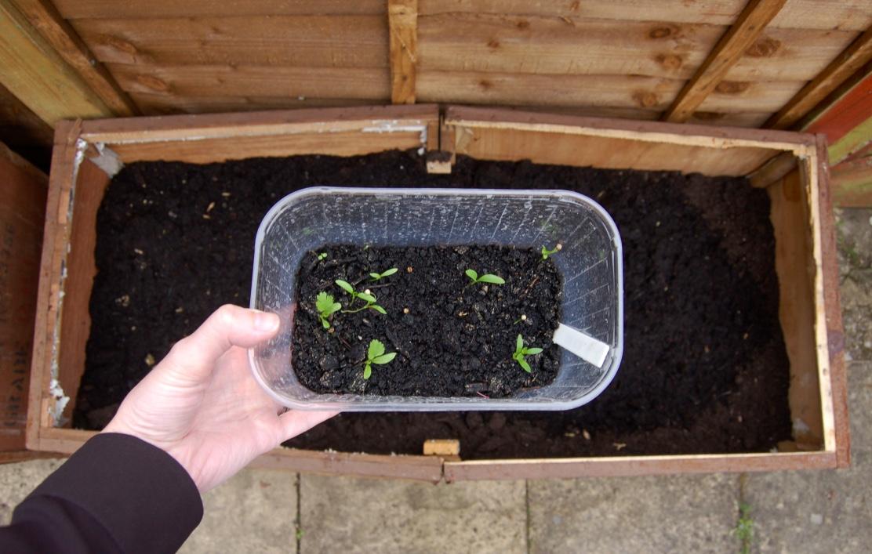 grow-your-own-coriandor
