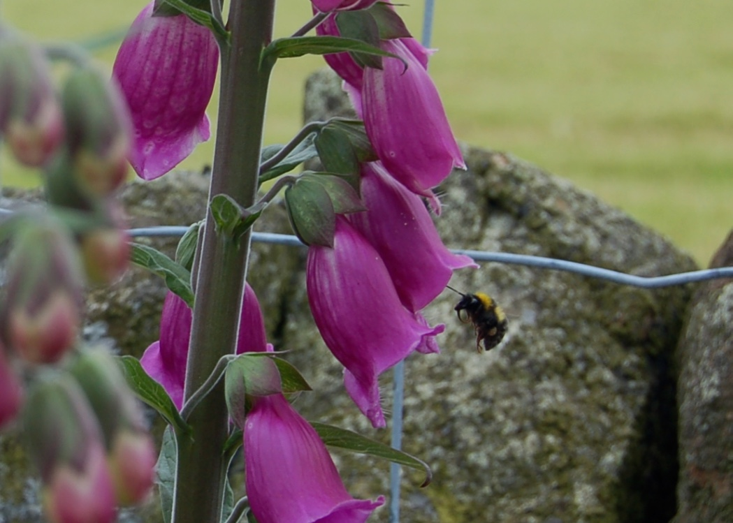 the bees_foxglove