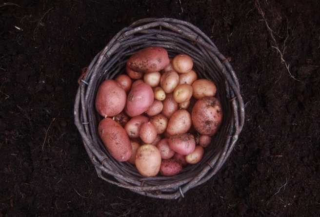 harvest2016_potatoes