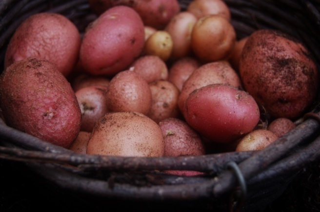 harvest2016_potatoes_closeup