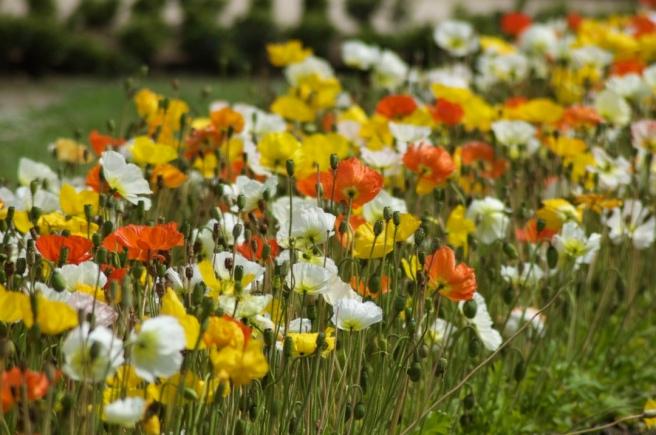 poppies_jardin_de_pplantes
