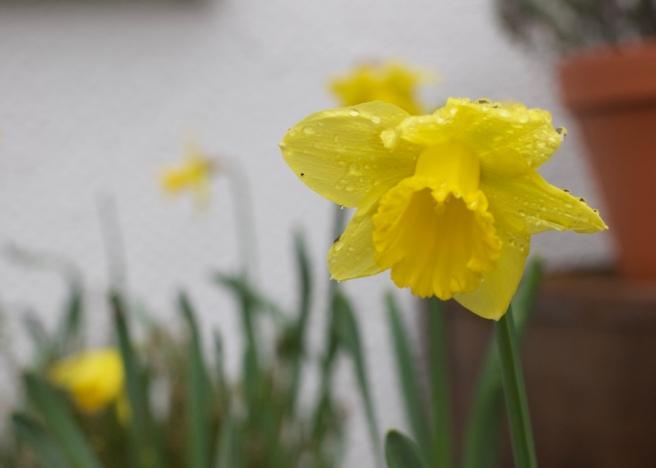 spring_daffodils